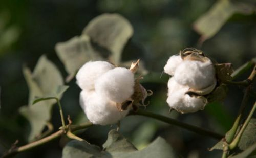 C&A Foundation supports organic cotton cultivation in Pakistan