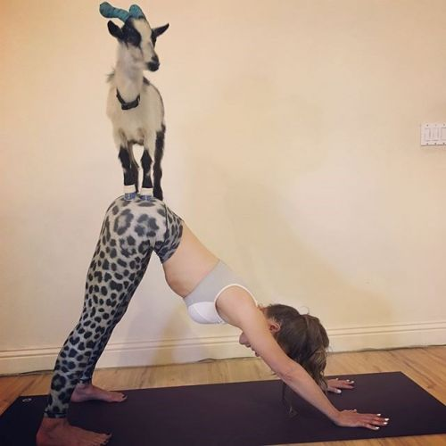 Five things you need to know about goat yoga