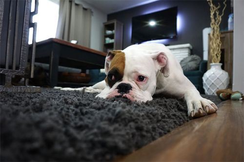How to Clean After Your Pet at Home