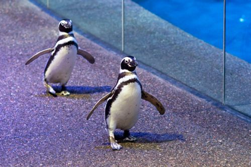 Watch Shedd Aquarium penguins waddle through Chicago's Field Museum
